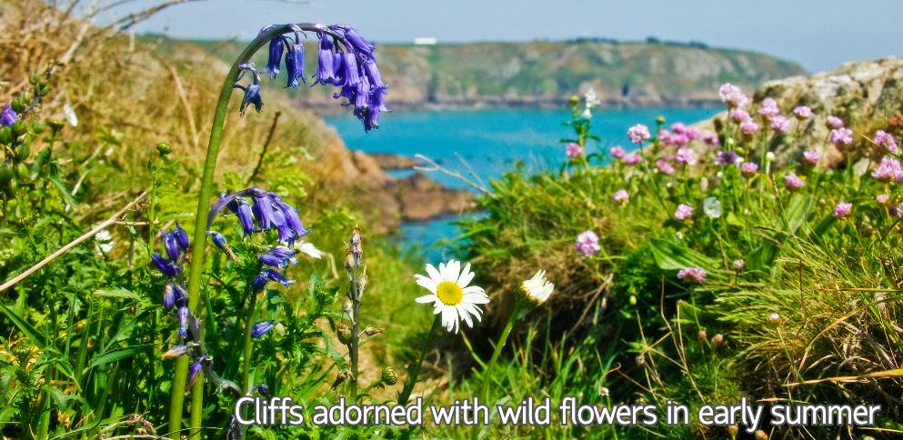 South coast cliffs adorned with wild flowers in early summer