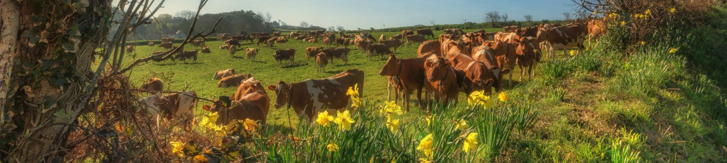 Guernsey cows and daffodil flowers in springtime