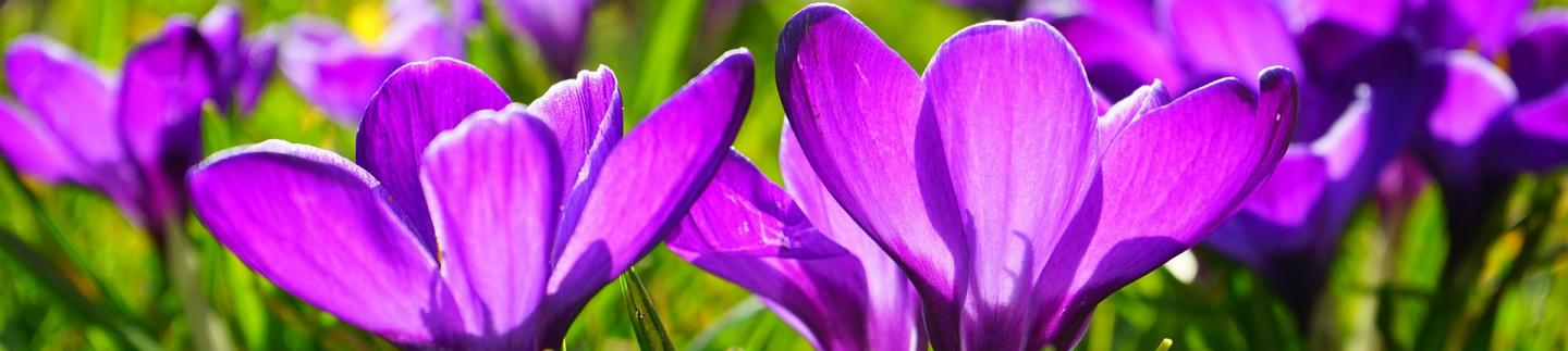 Crocuses in Spring in Guernsey