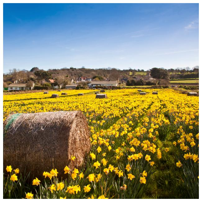 Daffodil fields in Guernsey