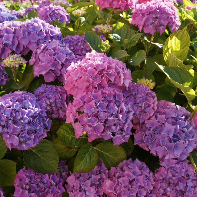 Hydrangeas at The Ellingham Cottages